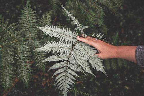 iconic Silver Fern Natur Pflanze Sommer grün Hand Blatt Wald Gras Sträucher Schönes Wetter Finger nass Urwald silber feucht Logo