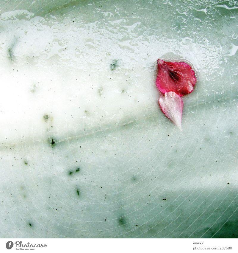 Jazz for Lovers Pflanze Wasser weiß rot Gefühle Glück Regen liegen Textfreiraum Wassertropfen genießen nass berühren Schutz Sicherheit nah