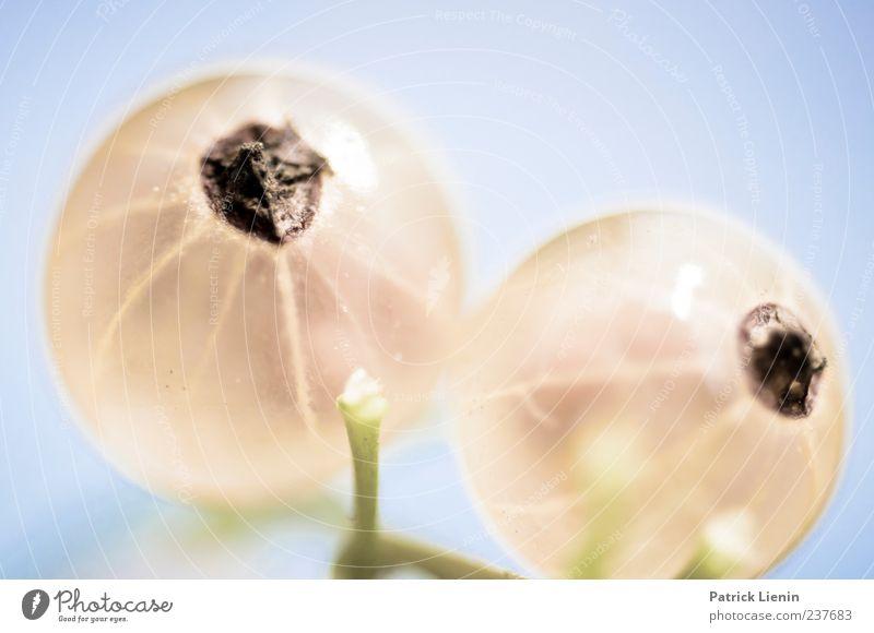 aufgeblasen Natur blau Pflanze Umwelt Ernährung hell natürlich außergewöhnlich ästhetisch rund Sauberkeit Brust genießen lecker Beeren Makroaufnahme