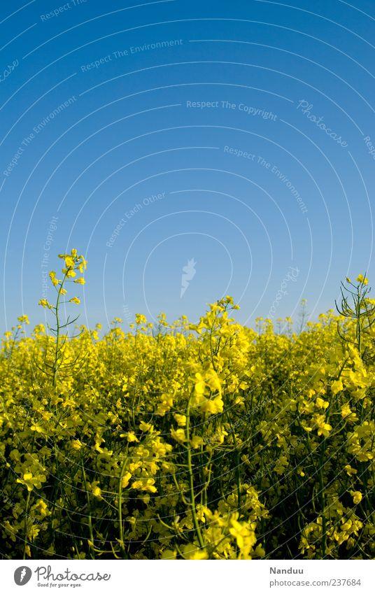 Spritfeld Sommer hell Wolkenloser Himmel Raps Feld Blüte gelb Biokraftstoff E10 Blühend Rapsblüte Rapsanbau Symbole & Metaphern biologisch