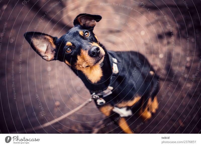 Hund Tier Haustier Tiergesicht Fell 1 beobachten Blick sitzen frech kuschlig nah Erwartung Pinscher Hundeleine Farbfoto Außenaufnahme Menschenleer Tierporträt