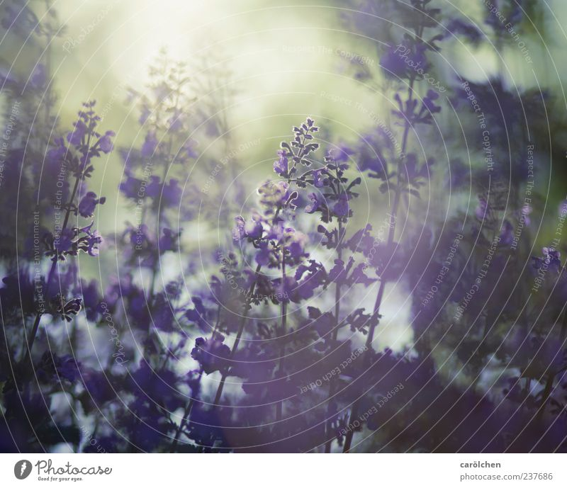 Daydream Natur Pflanze Sonnenlicht Sommer Blume Garten gold violett Katzenminze Gegenlicht milchig Nebel zart filigran Farbfoto mehrfarbig Menschenleer