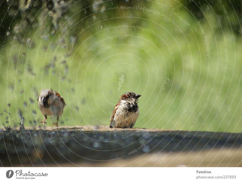 kleine Wasserpanscher Natur grün Sommer Tier Park braun hell Vogel Umwelt nass Wassertropfen sitzen Tropfen Feder natürlich
