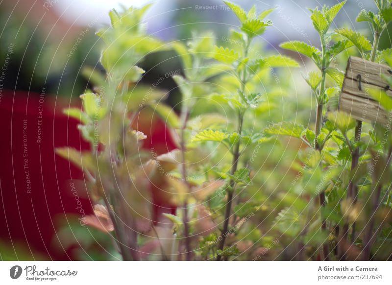 take me with you Garten Natur Pflanze Frühling Schönes Wetter Nutzpflanze Minze Kräuter & Gewürze Duft frisch grün Gesundheit Minzeblatt Heilpflanzen Unschärfe