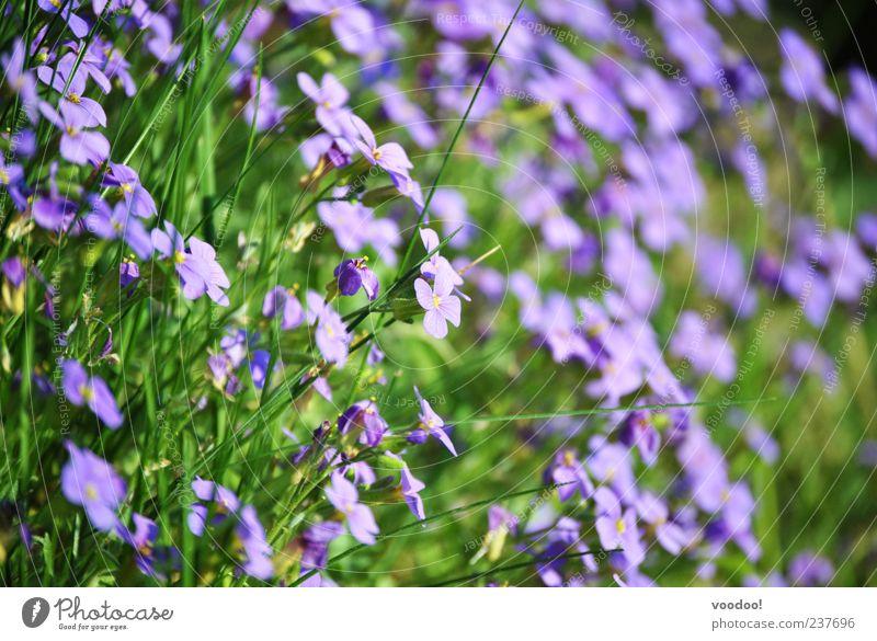 Die Schönheit im Auge des ebenerdigen Betrachters! Natur Blume grün Pflanze Sommer ruhig Erholung Blüte Frühling Zufriedenheit Umwelt mehrere violett viele