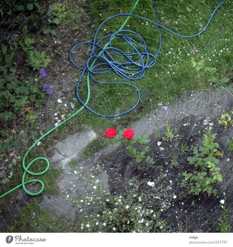 die chaotischsten Gärtner haben die schönsten Rosen! Gartenarbeit Sommer Grünpflanze Beet Rasen Steinplatten Wege & Pfade Gartenschlauch Schlauch Blühend liegen