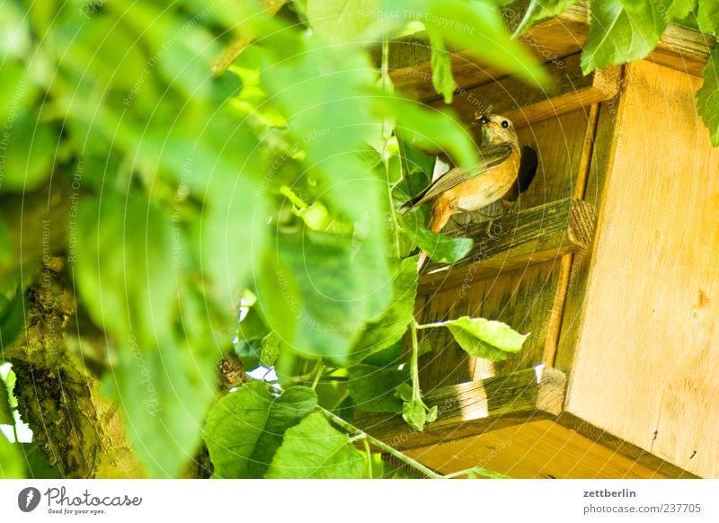Gartenrotschwanz Sommer Umwelt Natur Tier Baum Vogel Tiergesicht 1 Blühend füttern Brutpflege Zugvogel Futterhäuschen Brutkasten Farbfoto Gedeckte Farben