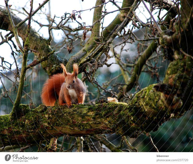 Im Apfelbaum Natur Baum Tier Umwelt Frühling Kopf braun sitzen niedlich Ohr Neugier Ast Tiergesicht Eichhörnchen Farbe
