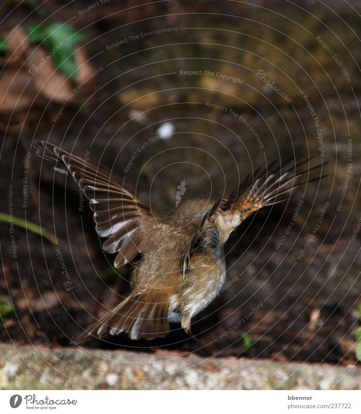 Rotkehlchen Natur schön Tier Umwelt Vogel braun fliegen Beginn Flügel Vogelflug Rotkehlchen