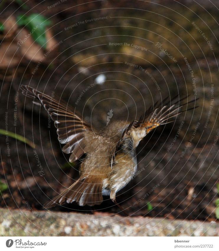 Rotkehlchen Umwelt Natur Tier Vogel 1 fliegen schön Farbfoto Außenaufnahme Rückansicht Flügel braun Menschenleer Beginn Vogelflug