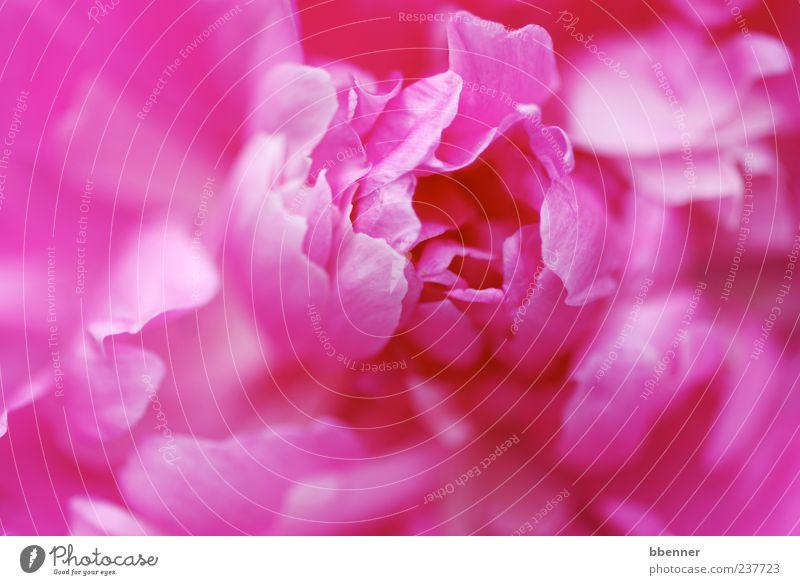 Pfingstrose Natur schön Pflanze Sommer Blume Umwelt Frühling Garten Blüte rosa Fröhlichkeit leuchten Romantik weich Kitsch Blühend