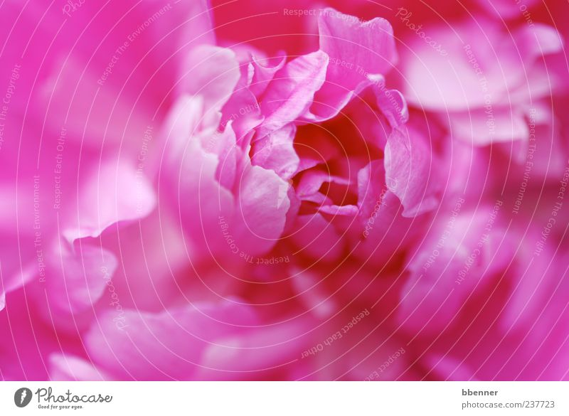 Pfingstrose Umwelt Natur Pflanze Frühling Sommer Blume Garten Blühend leuchten schön Kitsch weich rosa Fröhlichkeit Lebensfreude Frühlingsgefühle Romantik