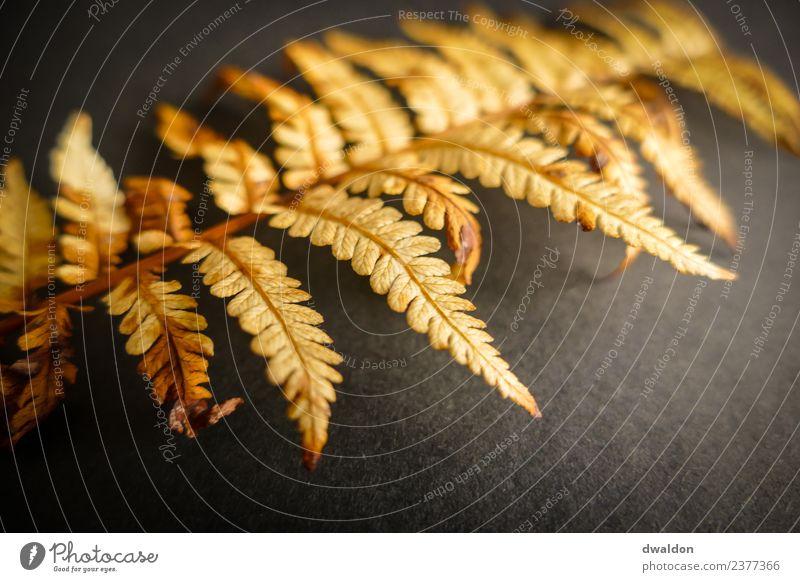 Studioaufnahme (Macro) eines Farns (herbstlich) Natur Pflanze Sträucher Blatt Grünpflanze ästhetisch außergewöhnlich dunkel einfach einzigartig weich braun