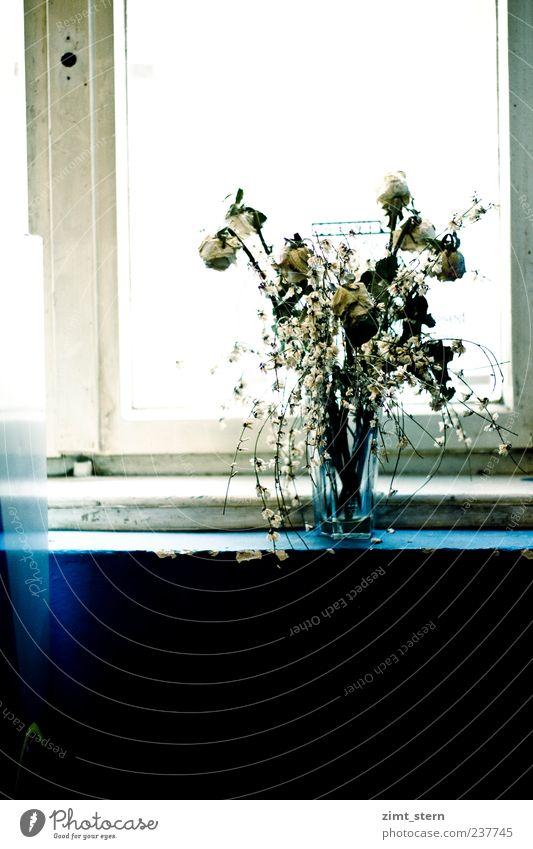 Vergängliches Blühen blau alt weiß Einsamkeit Fenster Blüte Traurigkeit Kunst dreckig stehen Häusliches Leben Dekoration & Verzierung Wandel & Veränderung Rose