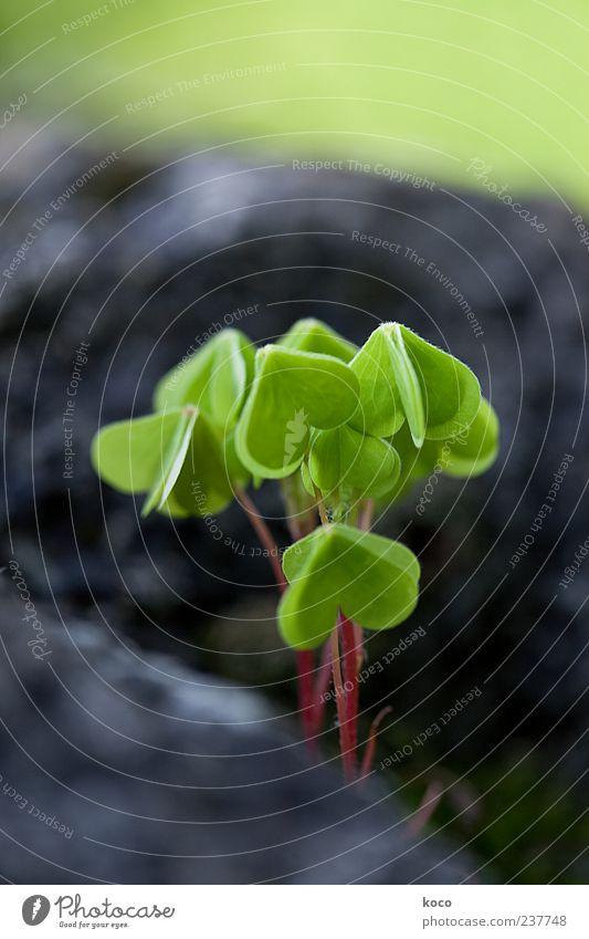Herzig Umwelt Natur Pflanze Frühling Sommer Blatt Grünpflanze Wildpflanze Klee Kleeblatt Stein Wachstum Glück klein natürlich grün rot schwarz Farbfoto
