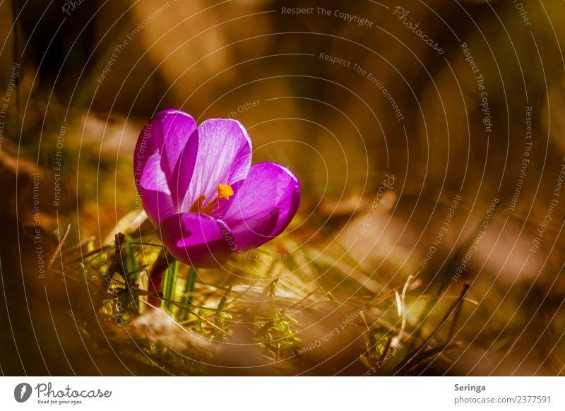 Krokus im Sonnenschein Umwelt Natur Landschaft Pflanze Tier Frühling Blume Gras Moos Nutzpflanze Wildpflanze Garten Park Wiese Wald Blühend Krokusse Farbfoto