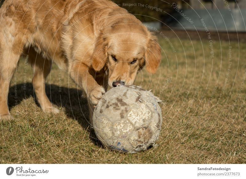 A golden retriever is playing outside in the garden Freude Sommer Natur Garten Park Wiese Tier Haustier Hund 1 gelb Tierliebe pet young canine animal breed