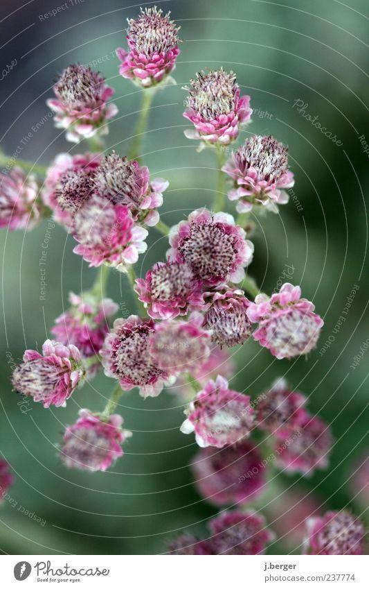 noch mehr Frühling Pflanze Blüte rosa außergewöhnlich ästhetisch violett zart Blühend zierlich Frühlingsgefühle