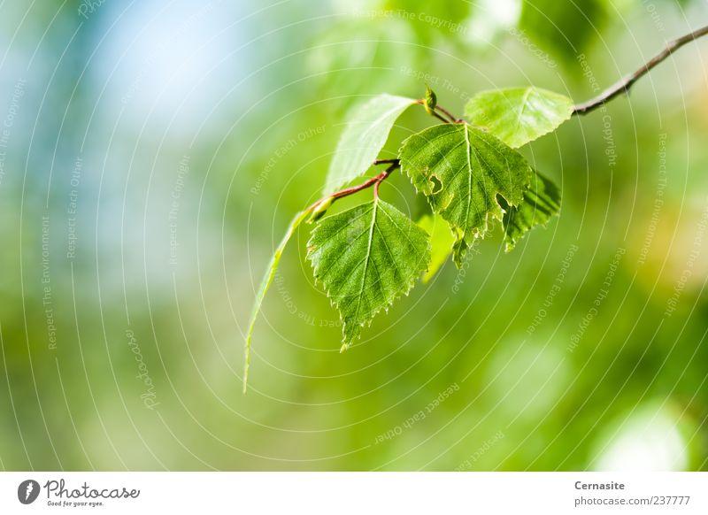 Einfaches Grün Sonnenlicht Frühling Pflanze Baum Blatt ästhetisch authentisch einfach frisch schön nah neu wild weich blau grün Unschärfe Birkenblätter Europa