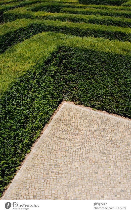 no way out Natur grün Pflanze Blatt Linie außergewöhnlich Ordnung Wachstum Sträucher Ecke Kopfsteinpflaster Kontrolle Verzweiflung eckig Pflastersteine