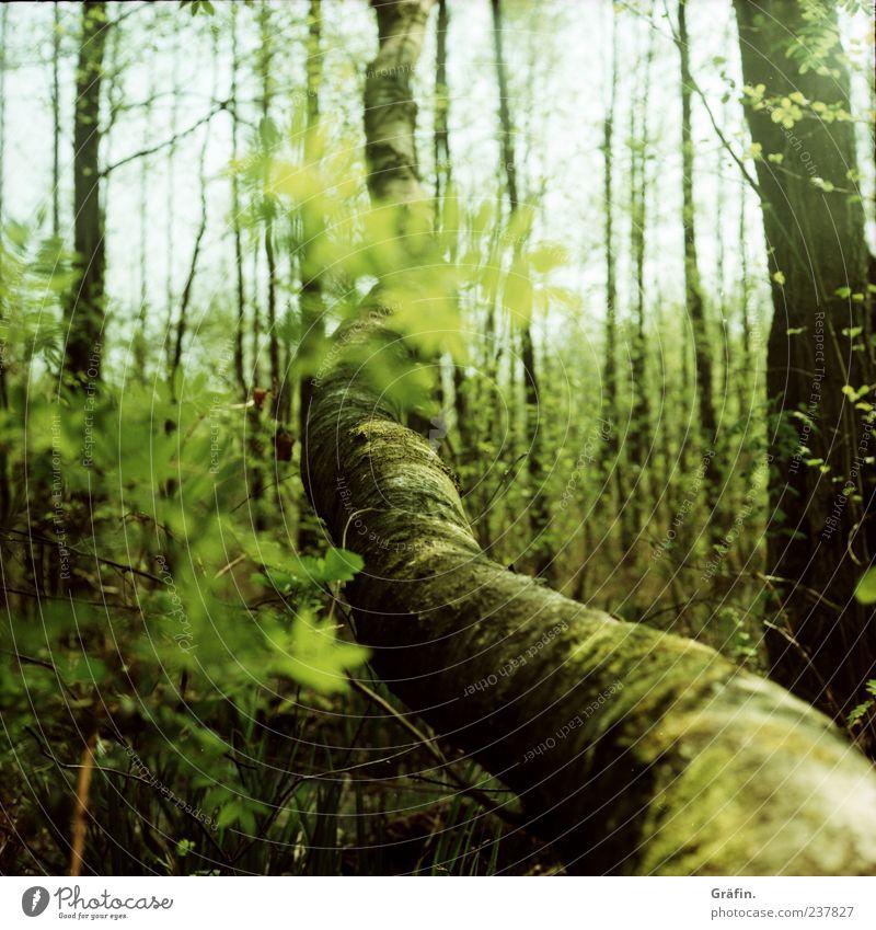 Im Moor Natur grün Baum Blatt Einsamkeit Wald Umwelt Frühling Klima natürlich groß Wachstum Sträucher Wandel & Veränderung Blühend Baumstamm