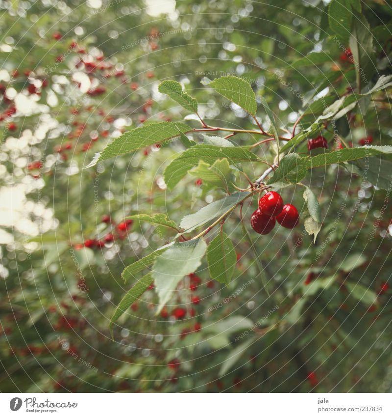 kirschenzeit Lebensmittel Frucht Kirsche Ernährung Bioprodukte Vegetarische Ernährung Fingerfood Natur Pflanze Baum Blatt lecker grün rot Farbfoto Außenaufnahme
