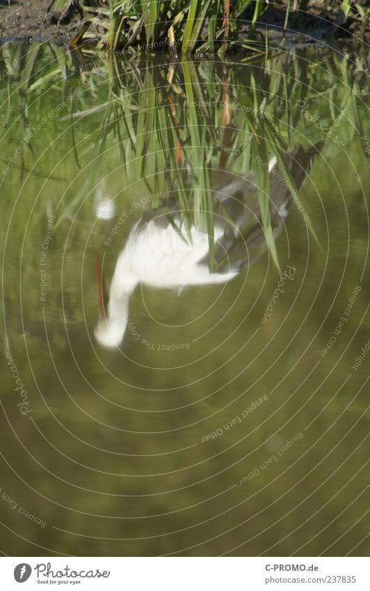 Reflexionen eines Storchs Wasser Seeufer Tier Wildtier Flügel 1 grün Farbfoto Außenaufnahme Textfreiraum unten Tag Reflexion & Spiegelung Unschärfe Natur Teich