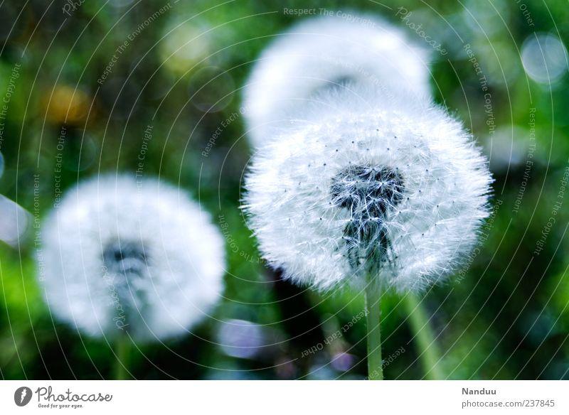•• Natur Pflanze Wiese natürlich rund weich Löwenzahn Tiefenschärfe Samen Blume natürliche Farbe