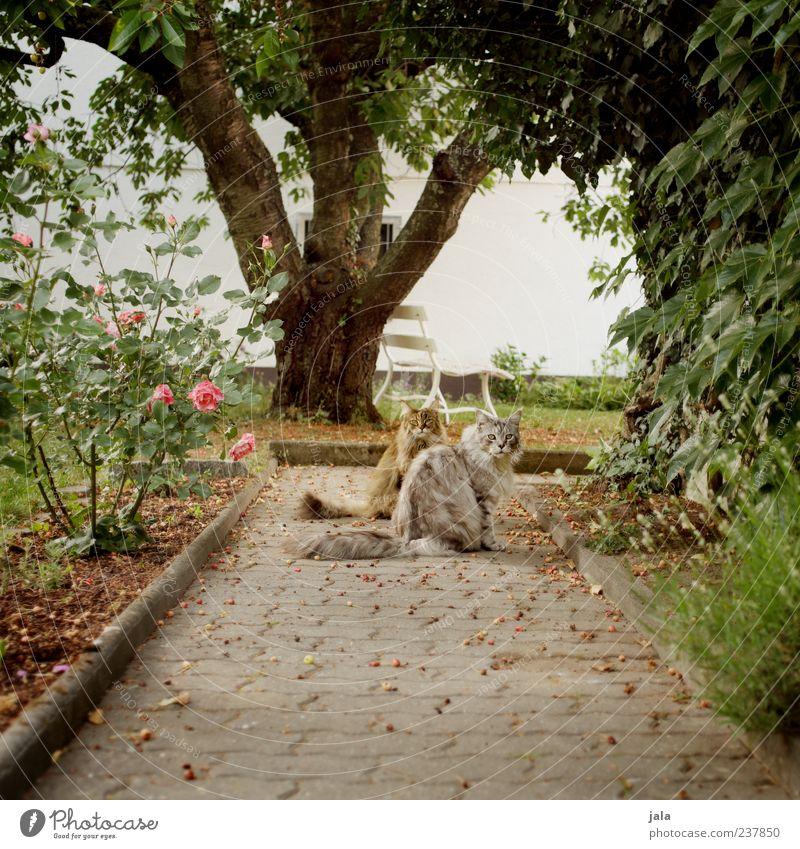 gartentiger Katze Natur schön Baum Pflanze Blatt Tier Wege & Pfade Garten Blüte Zusammensein sitzen Idylle Haustier Umwelt