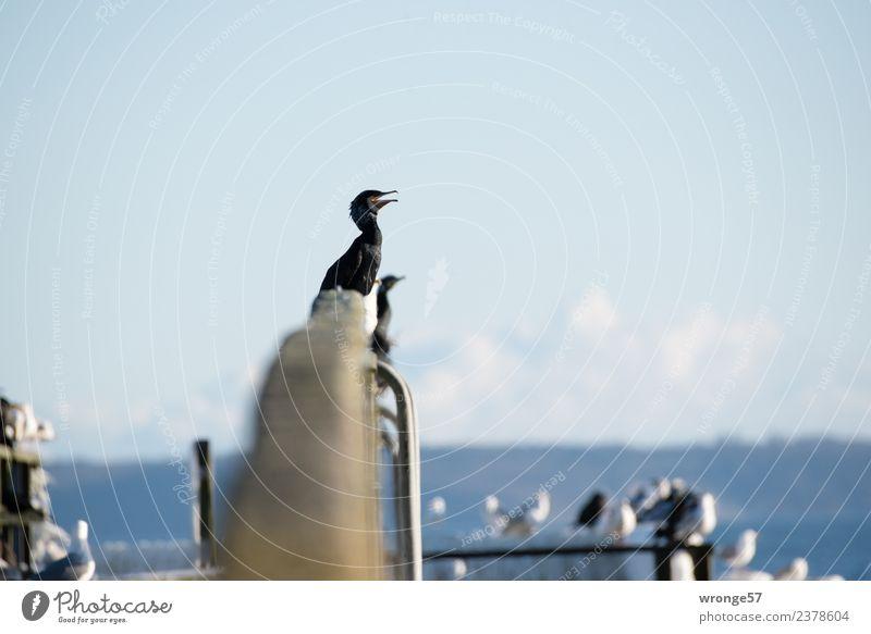 Kormorane sitzen auf Brückengeländer blau Meer Tier schwarz Vogel Wildtier Tiergruppe warten Ostsee maritim ausruhend