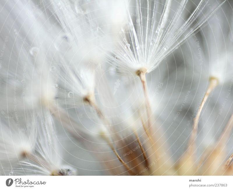 Fächer Pflanze weich braun weiß Unschärfe Makroaufnahme Detailaufnahme Löwenzahn Wassertropfen Tropfen Farbfoto Samen Pollen Textfreiraum oben