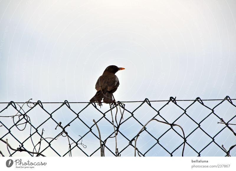 Haßliebe Umwelt Natur Himmel Wolkenloser Himmel Tier Wildtier Vogel 1 sitzen Amsel singen Zaun Maschendraht Maschendrahtzaun Farbfoto Gedeckte Farben