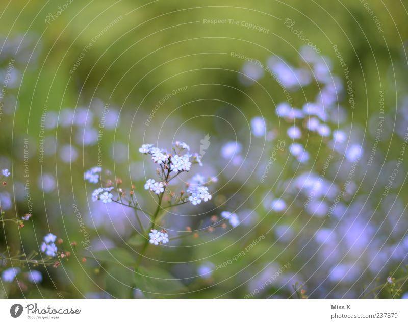 VGM Frühling Sommer Pflanze Blume Blatt Blüte Blühend Wachstum klein blau Vergißmeinnicht Erinnerung Farbfoto mehrfarbig Außenaufnahme Nahaufnahme Menschenleer