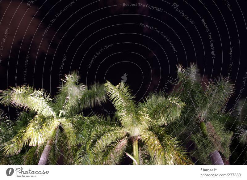 nachts sind alle palmen grün Pflanze Nachthimmel Baum Palme Kokospalme Bewegung leuchten Wachstum dunkel exotisch groß hoch natürlich wild schwarz Natur