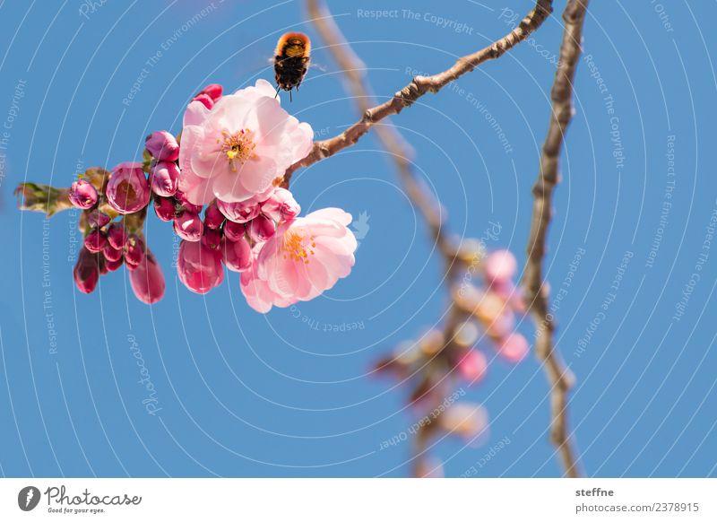 Kirschblüte vs. Hummel Natur Pflanze Frühling Schönes Wetter Blüte ästhetisch außergewöhnlich bestäubung bestäuben Fortpflanzung Biene Kirschblüten Zierkirsche