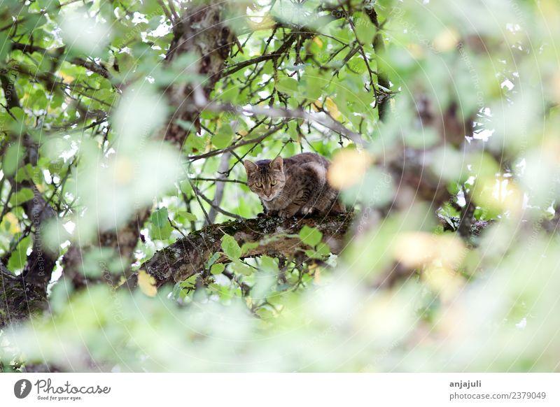 Katze auf einem Baum zwischen Blättern Haustier 1 Tier Tierjunges beobachten entdecken fangen Jagd Blick Katzenbaby Katzenkopf Klettern Ast Blätterdach buschig