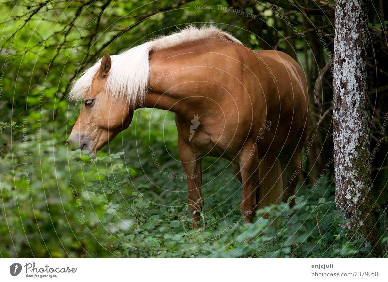 Haflinger Pferd im Wald frisst Blätter Pflanze Tier Frühling Sommer Baum Gras Sträucher Grünpflanze Wiese Tierjunges glänzend grün Mähne Fressen Blatt schön