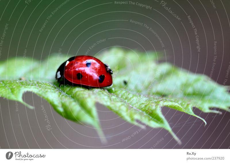 Roter Überflieger Natur grün rot Sommer Blatt Tier Leben Bewegung frei Insekt Fressen Käfer krabbeln Marienkäfer Grünpflanze gepunktet