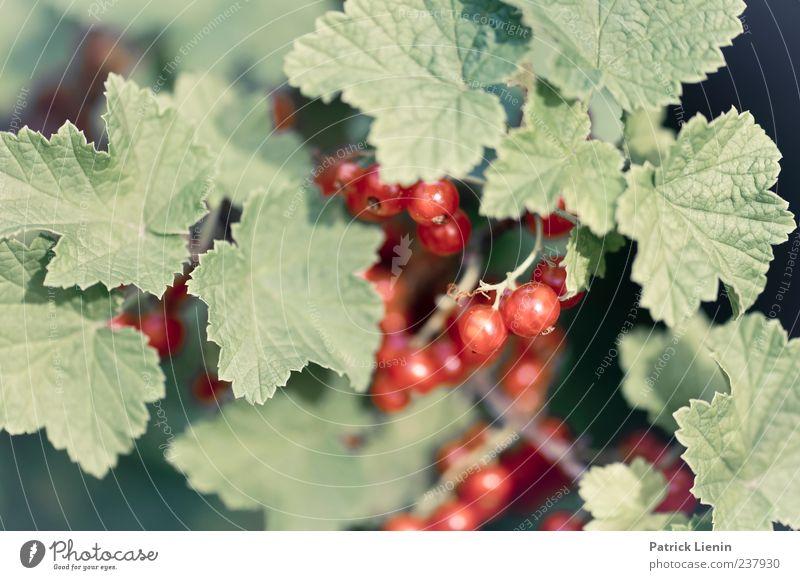 rote Johannisbeeren Natur grün Pflanze Sommer Umwelt Ernährung Lebensmittel Frühling Garten Gesundheit Kraft Frucht Sträucher genießen Bioprodukte