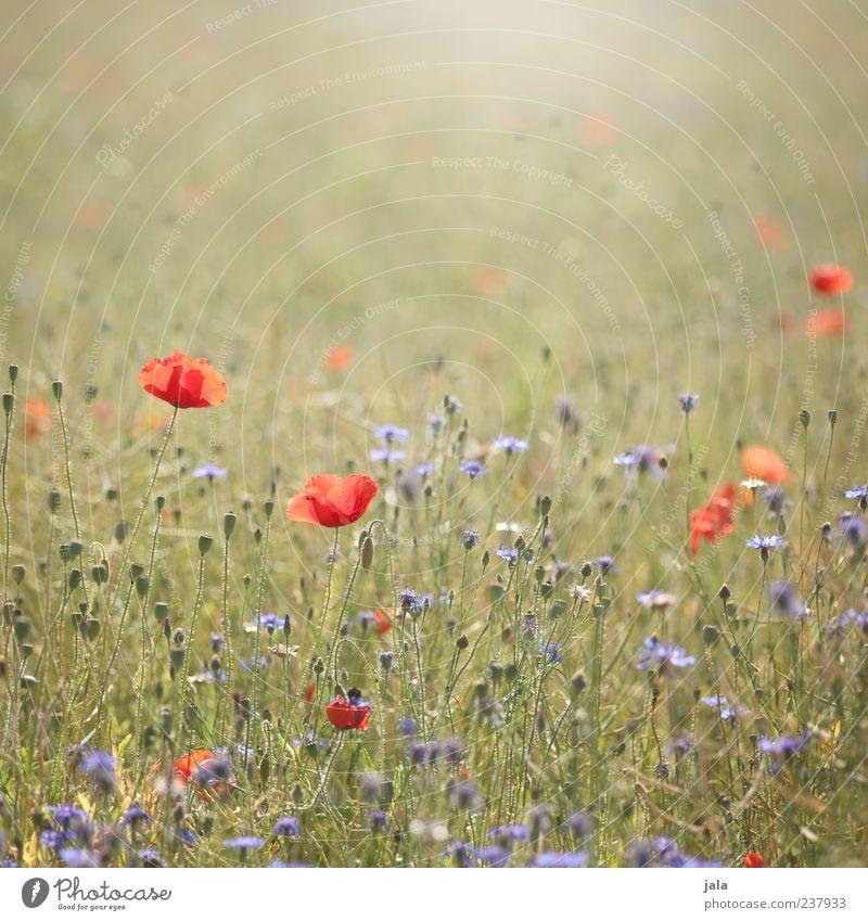 mohn & korn Umwelt Natur Landschaft Pflanze Frühling Sommer Blume Gras Blatt Blüte Wiese frei Freundlichkeit hell schön blau gelb grün rot Frühlingsgefühle Mohn