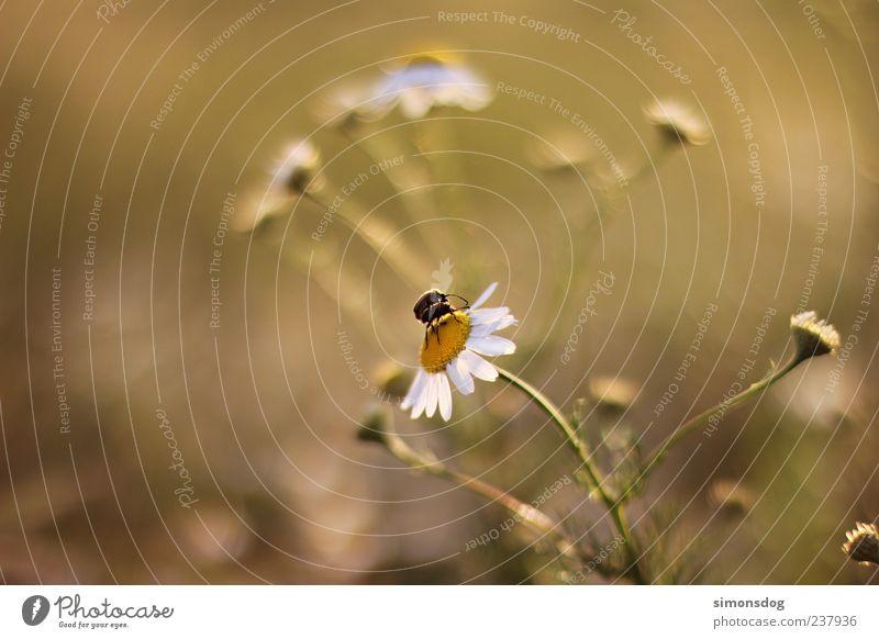 zweisamkeit Natur Pflanze Tier Schönes Wetter Blume Gras Blüte berühren Blühend krabbeln Glück nah natürlich Margerite Wohlgefühl Käfer Farbfoto Außenaufnahme