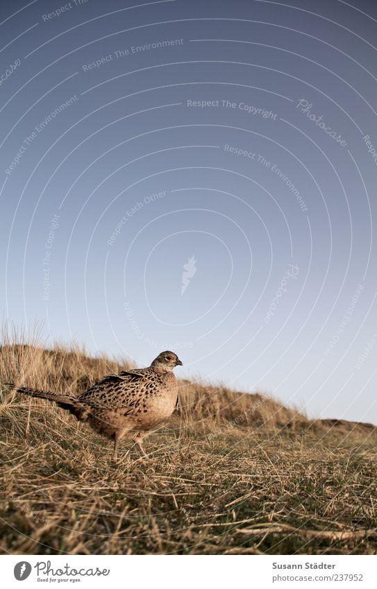 Spiekeroog | frei Landschaft Erde Wildtier Vogel 1 Tier Brunft Fasan Fasanenartiger Düne Dünengras Gedeckte Farben Außenaufnahme Detailaufnahme Abend Dämmerung