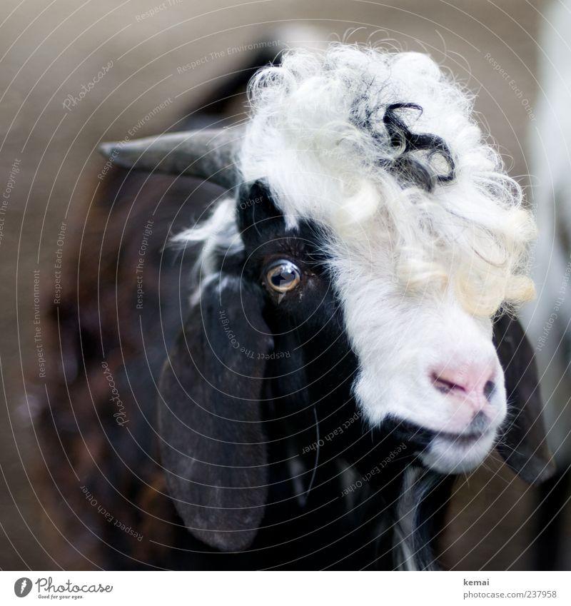 Haarschlamper weiß Tier schwarz Auge Haare & Frisuren Nase Ohr Fell Tiergesicht Vertrauen Zoo Locken Horn Nutztier Tierliebe Ziegen