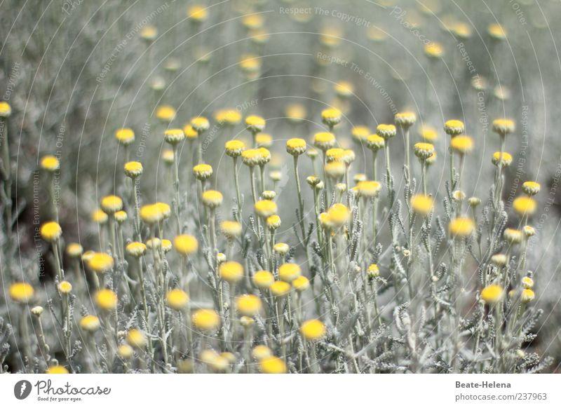 Rätselhafter Gelbblüher Natur grün schön Pflanze Blume gelb grau Stimmung ästhetisch leuchten Schönes Wetter Blühend Grünpflanze Frühlingsblume Blütenpflanze