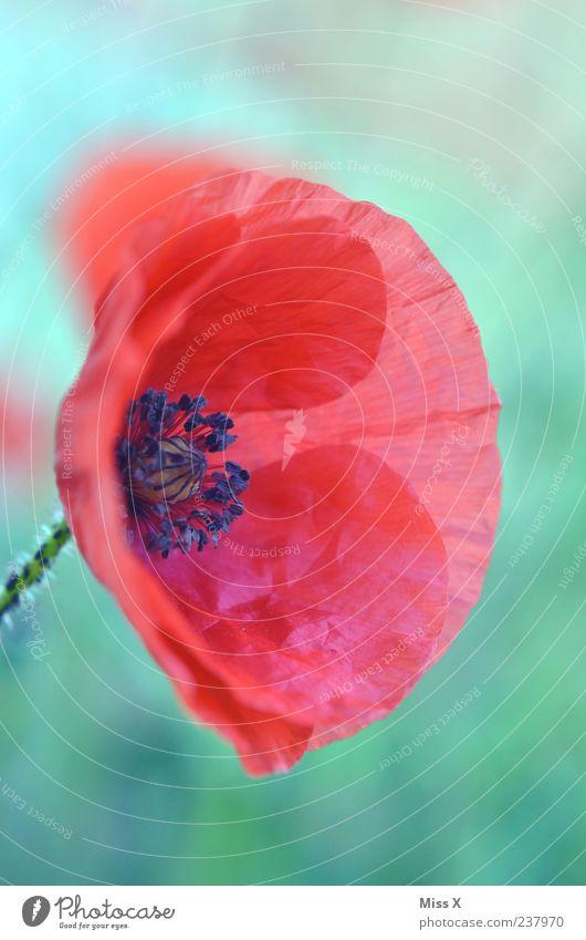 Poppy Pflanze rot Sommer Blume Frühling Blüte Falte zart Blühend Mohn Blütenblatt filigran Wildpflanze Mohnblüte Mohnkapsel