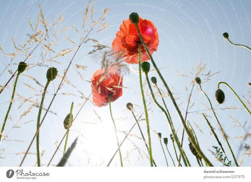 habe wieder in der Wiese gelegen Natur Pflanze Himmel Wolkenloser Himmel Sonne Sommer Schönes Wetter Blume Gras Blatt Blüte Wildpflanze blau rot Mohn Mohnblüte