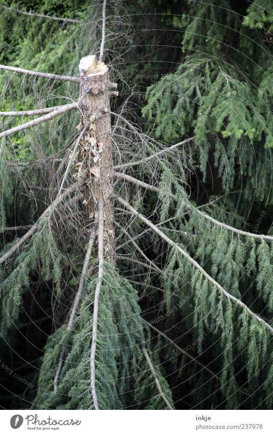 geköpfter Stammhalter Forstwirtschaft Landwirtschaft Umwelt Sommer Unwetter Baum Tanne Kiefer Nadelwald Tannenzweig Ast Baumstamm Wald Holz stehen dunkel kaputt
