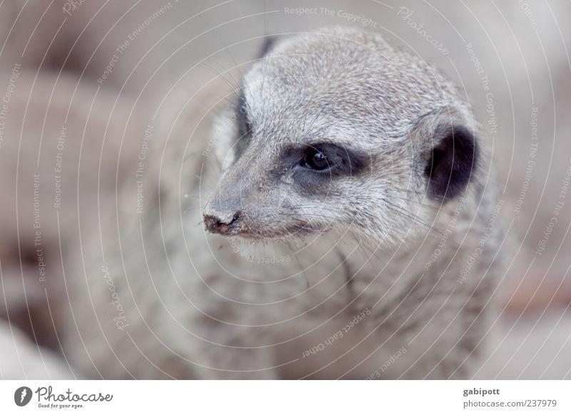 Ein Tag im Zoo [no3] Tier klein braun natürlich niedlich beobachten Neugier Fell Tiergesicht Wachsamkeit Kontrolle kuschlig klug Tierliebe listig