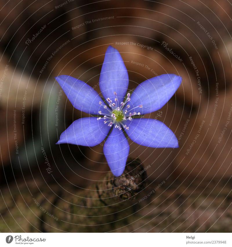 Leberblümchen... Umwelt Natur Pflanze Frühling Blume Ast Frühblüher Wald Waldboden Blühend Wachstum ästhetisch klein natürlich braun violett Frühlingsgefühle