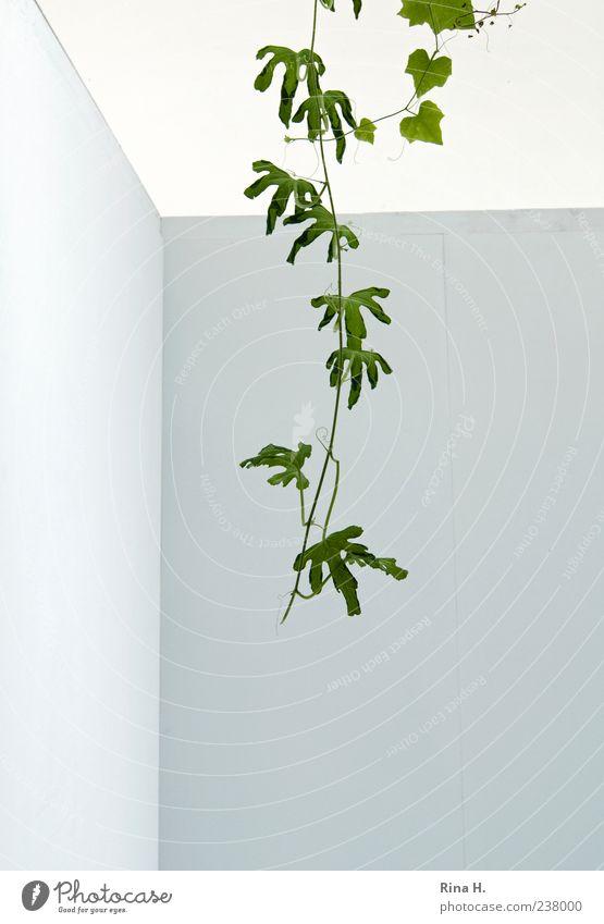 Eindringling Pflanze Sommer Blatt Grünpflanze Mauer Wand Fassade hängen Wachstum hell grün weiß einzigartig Kletterpflanzen Ranke exotisch eindringen Farbfoto